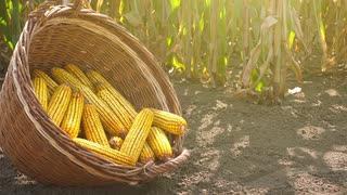 harvested-corn-in-wicker-basket-freshly-picked-maize-ears-on-cob-out-in-agricultural-field_4kmfkfpjl__S0000
